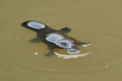 Platypus close-up